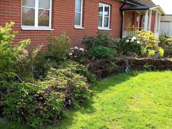 2007 maj. Torvrabattens rhododendron och klematis i knopp.