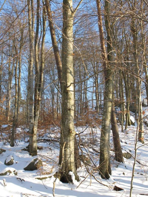 bokskog vinter