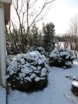 De tre bolltuijorna i trädhörnet ser ut som fluffiga bakelser pudrade med snö.