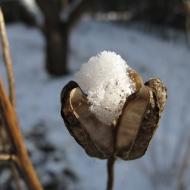 krollilja med snö