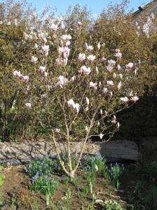 magnolia pärlhyacint