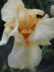 Iris 'Tchin-Tchin'