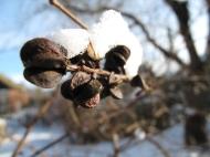 pärlbuske med snö