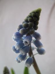 pärlhyacint 1