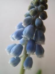 pärlhyacint 5