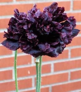 svart vallmo 3