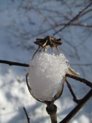 Vallmons frökapsel har fyllts med fluffig snö.