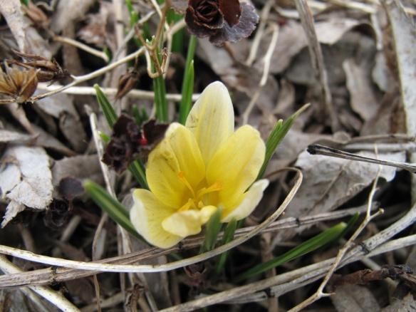 blommande krokus