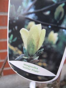 Gul magnolia Solar flair