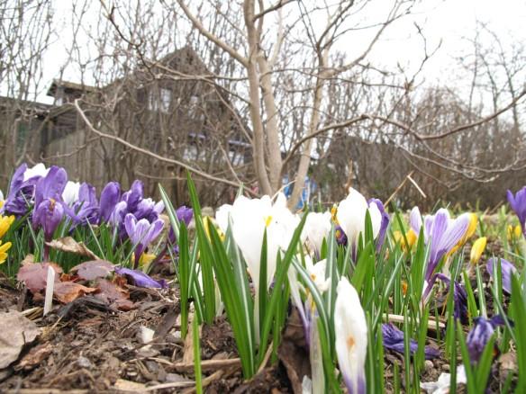 Krokus vid magnolian i Pionrabatten