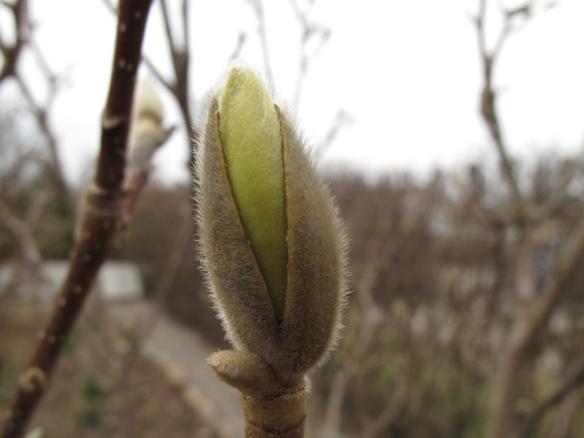 Knopp i magnolian