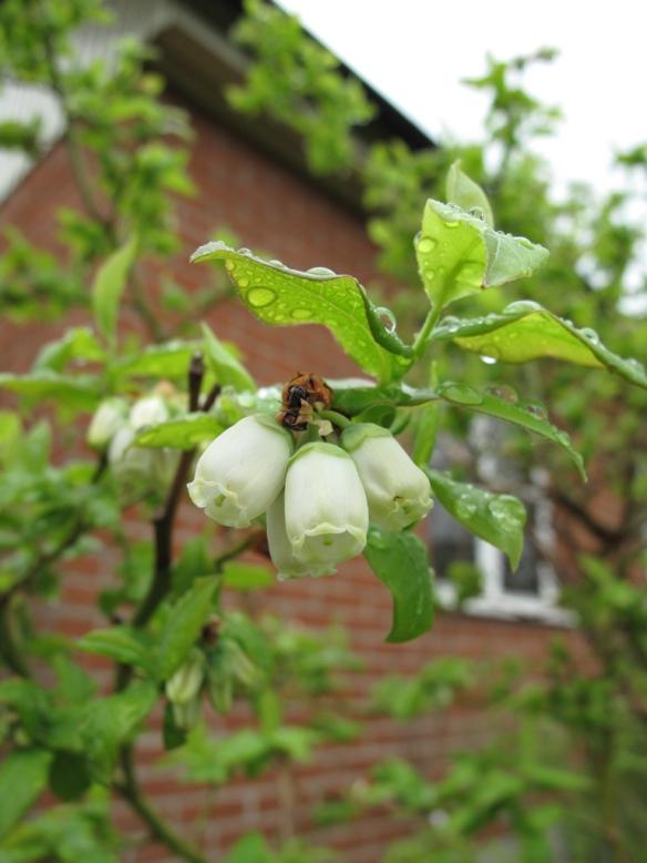 blåbär 19 maj