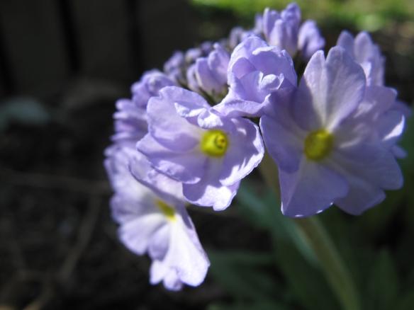 lila bollviva 5 maj