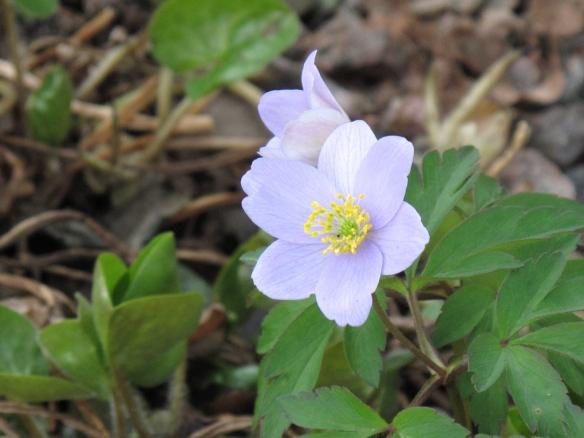 lila vitsippa