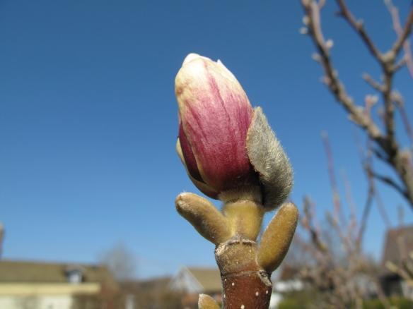 magnolia 5 maj