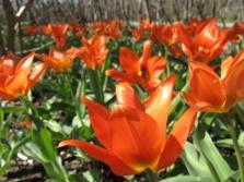 orange tulpanhav trädhörnet 5 maj