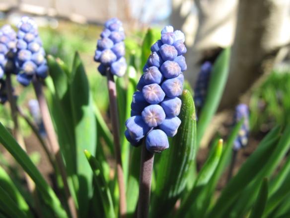 pärlhyacint 5 maj
