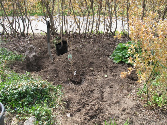trädplantering 1