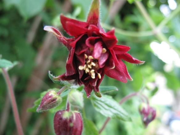 Aklejan 'Black Barlow' blommar under hängsyrénen.