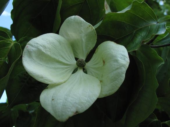 blomsterkornell cornus kousa 3