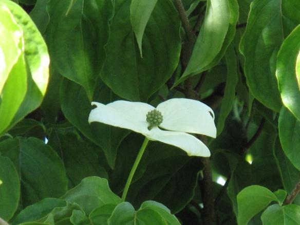 blomsterkornell cornus kousa 4