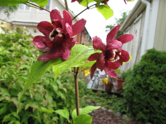 Calycanthus raulstonii 'Hartlage wine' 4