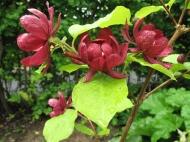 Trädgårdskryddbuske 'Hartlage wine'