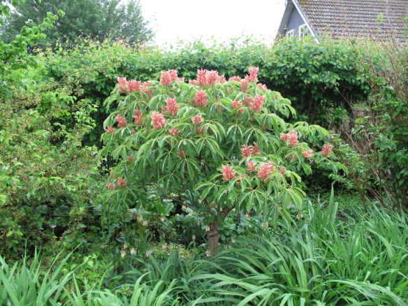 Kastanjen Aesculus pavia 'Koehnei' i blom