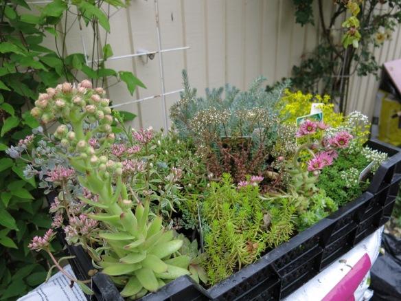 fetbladsväxter 1