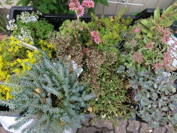 fetbladsväxter 2