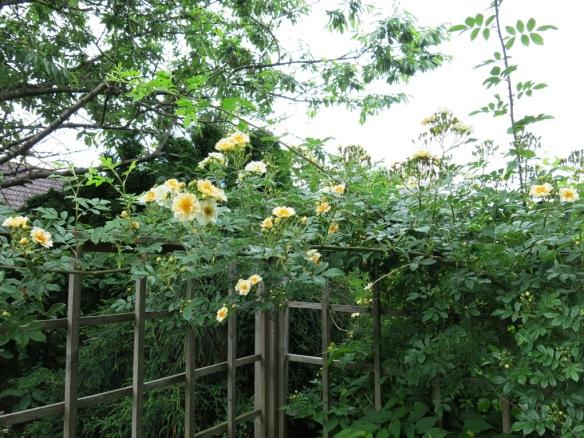 I komposthörnan blommar honungsrosen