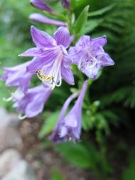 Vackra lila funkior blommar