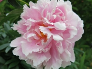 rosa pion