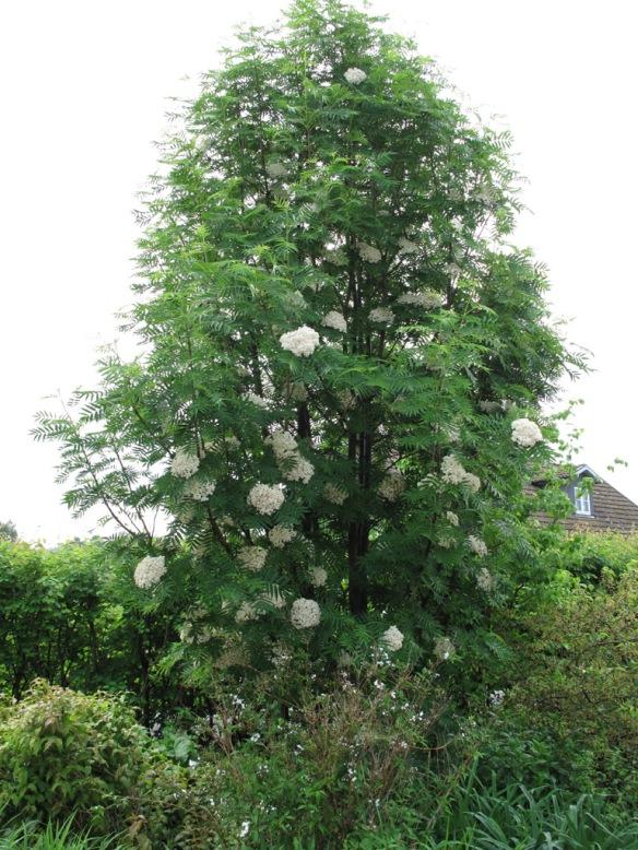 Ullungrönnen Sorbus 'Dodong' i full blom.