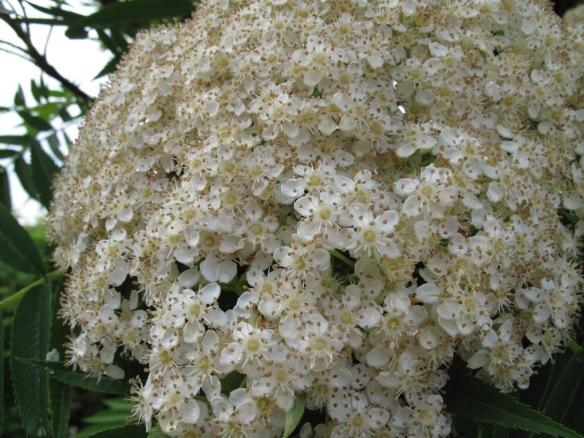 'Dodong'-blomma.