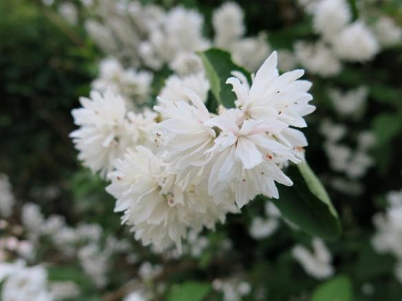 vit blommande buske