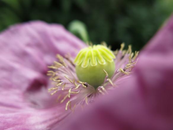 lila vallmo 2