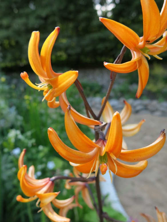 lilium orange marmelade