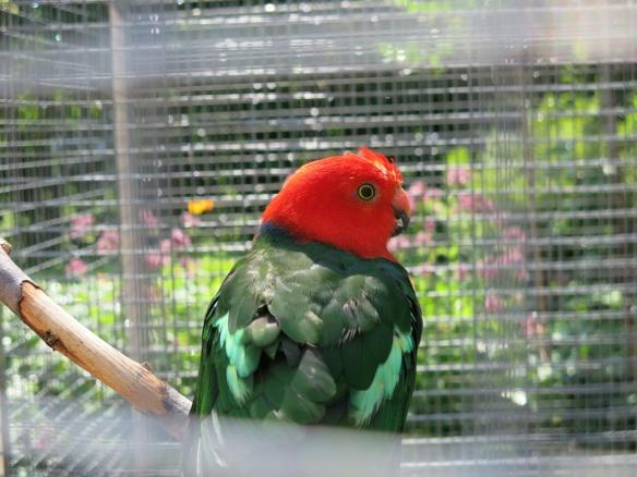 papegojor badar 1