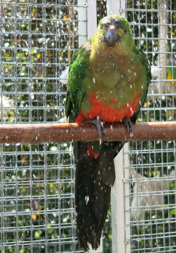 papegojor badar 3