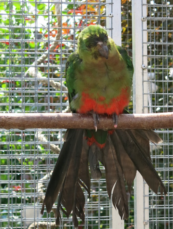 papegojor badar 5