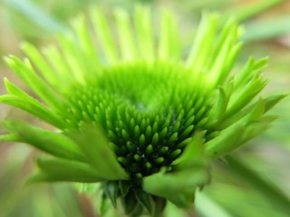 Rudbeckia 'Green jewel'.