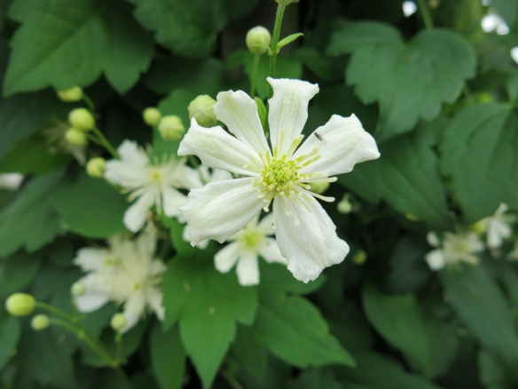 'Summersnow' i blom.