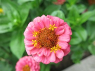 Zinnia 'Sunbow mixed'.