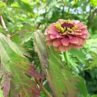 Japanska lönn 'Acontifolium' och zinnia 'Queen lime red'.