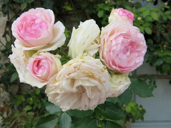 Pierre de ronsard eden rose