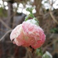 frost Eden rose