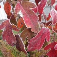 frost kopparlönn