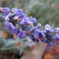 frost lavendel