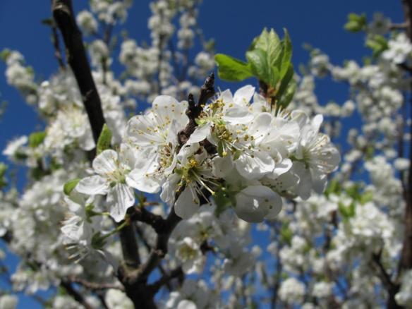 13 maj plommonträd